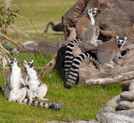 Famosos por las películas y oriundos de Madagascar, los lémures animan las vacaciones en Temaikèn.