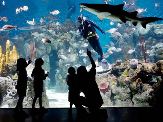 Ver la alimentación de los tiburones, una nueva atracción en el acuario del bioparque.