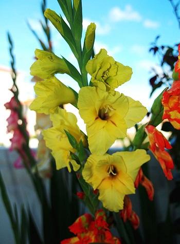 Los gladiolos serán la flor principal de este año.