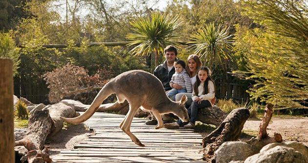 En famille parmi les kangourous